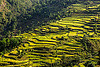 rice paddy terraces (india), agriculture, pindar valley, rice fields, rice paddy fields, slope, terrace farming, terrace fields
