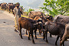 herder waking his herd of water buffaloes on the road (india), cows, herd, man, muslim, road, walking, water buffaloes