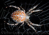 european garden spider on web - macro, araneidae, araneus diadematus, close-up, european garden spider, female, flash, macro, night, spider web, wildlife