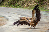himalayan vulture spreading wings (india), birds, gyps himalayensis, himalayan griffon, himalayan vultures, raptors, road, scavengers, wildlife, wings