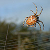 spider building its web, araneidae, araneus diadematus, building, european garden spider, female, macro, spider web, wildlife