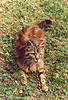brown cat lying on grass, cat, grass, ground, lying down, meow, resting, turf