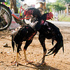 cockfighting - luang prabang (laos)