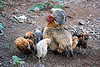 chick on hen, birds, cage-free, chickens, chicks, hen, poultry