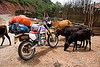 cows like my motorbike - honda xr 250 - laos
