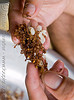 ants and their eggs (laos), ant eggs, ants, eating bugs, eating insects, edible bugs, edible insects, entomophagy, fingers, hands