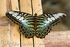 parthenos sylvia butterfly - clipper (laos)