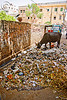 cow attempting to recycle trash - jaipur (india)