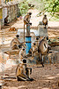 langur monkeys on hand pump (india)