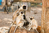 langur monkeys (india)