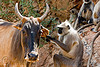 mutualism - langur monkey curing cow's ear (india)