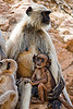female langur monkey nursing baby (india)