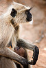 female langur monkey breastfeeding baby (india)