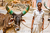 man and cow with big horns - ox - udaipur (india)