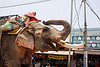 elephant with sawed-off tusks in the street (india)