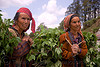 two women carying leaves - jalori pass (india)