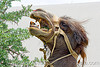 camel eating bush - teeth - harness
