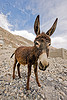donkey - nubra valley - ladakh (india)