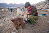 laia playing with baby goats - pangong lake - ladakh (india)