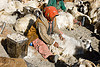 farmer combing goats - pangong lake - ladakh (india)