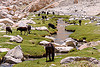 cows and river - road to pangong lake - ladakh (india)