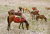 horses - nomad tribe - drass valley - leh to srinagar road - kashmir