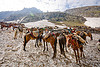 ponies on snow - amarnath yatra (pilgrimage) - kashmir