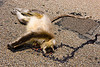 road kill - dead langur monkey