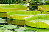 amazon water lily leaves - victoria amazonica, amazon water lily, conservatory of flowers, floating, giant water lily, green, leaves, plant, tropical, victoria amazonica