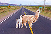 llamas crossing road, altiplano, baby llama, cria, fluffy, fuzzy, llama crossing, llama xing, lumara, lumará, mother, noroeste argentino, offspring, pampa, perspective, quebrada de humahuaca, road sign, straight road, traffic sign, vanishing point