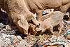 pigs foraging for food in a trash dump, eating, foraging, garbage, piglets, pigs, rubbish, sucre, trash dump