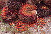 oil palm fruit, african oil palm, agroindustry, bunches, elaeis guineensis, oil palm fruit, tenera