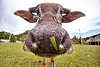cow nose with grass - water buffalo, cow nose, cow snout, ears, field, grass, grassland, head, turf, water buffalo