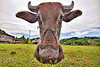 floating cow head - water buffalo, cow nose, cow snout, ears, field, floating, grass, grassland, head, horns, turf, water buffalo