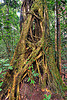 ficus - strangler fig tree, climbing plants, creeper plants, ficus, gunung mulu national park, jungle, lianas, rain forest, strangler fig, tree roots, tree trunk