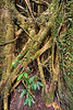 strangler fig tree - ficus, climbing plants, creeper plants, ficus, gunung mulu national park, jungle, rain forest, strangler fig, tree roots, tree trunk