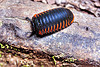 giant pill millipedes - sphaerotheriida - zephroniidae, arthropod, close-up, giant pill millipedes, gunung mulu national park, jungle, macro, myriapod, plant, rain forest, sphaerotheriida, zephroniidae
