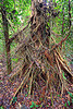 aerial roots, aerial roots, gunung mulu national park, jungle, plant, rain forest, tree trunk