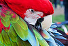 green-winged macaw parrot bird grooming, ara chloropterus, beak, bird, dolores park, feathers, green-winged macaw, grooming, head, parrot, psittacidae, red-and-green macaw, wildlife