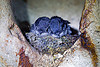 baby birds in nest, baby birds, bird nest, caving, gunung mulu national park, lang cave, limestone, natural cave, rock, sleeping, spelunking, stone, swiflets, swiftlet, two, wild bird, wildlife, young birds