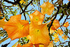 angel's trumpet flowers, angel's trumpet, brugmansia, java, plant, tree, trumpet flowers, yellow