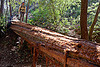 tree bridge, big sur, fallen tree, forest, pine ridge trail, redwood tree, sequoia sempervirens, tree bridge, tree trunk, trekking, vantana wilderness