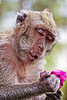macaque monkey eating junk food, crab-eating macaque, crumbs, female, java, junk food, macaca fascicularis, macaque monkey, plastic bag, plastic packaging, wild, wildlife