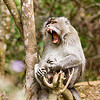 yawning macaque monkey