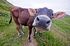 brown cow, 2050, black nose, black snout, cow nose, cow snout, ear tags, field, gorizia, grassland, nostrils, turf