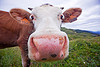 pink cow nose, 2046, cow nose, cow snout, ear tags, field, grassland, italiana, nostrils, pink nose, pink snout, turf