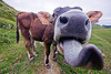 cow sticking tongue out, 2050, black nose, black snout, cow nose, cow snout, ear tags, field, gorizia, grassland, making out, nostrils, sticking out tongue, sticking tongue out, turf