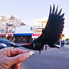 flying red-winged black bird catching food from my hand - agelaius phoeniceus gubernator