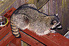 raccoon sitting on wooden handrail, lying down, night, nocturnal, procyon lotor, raccoon, resting, urban wildlife