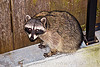 raccoon